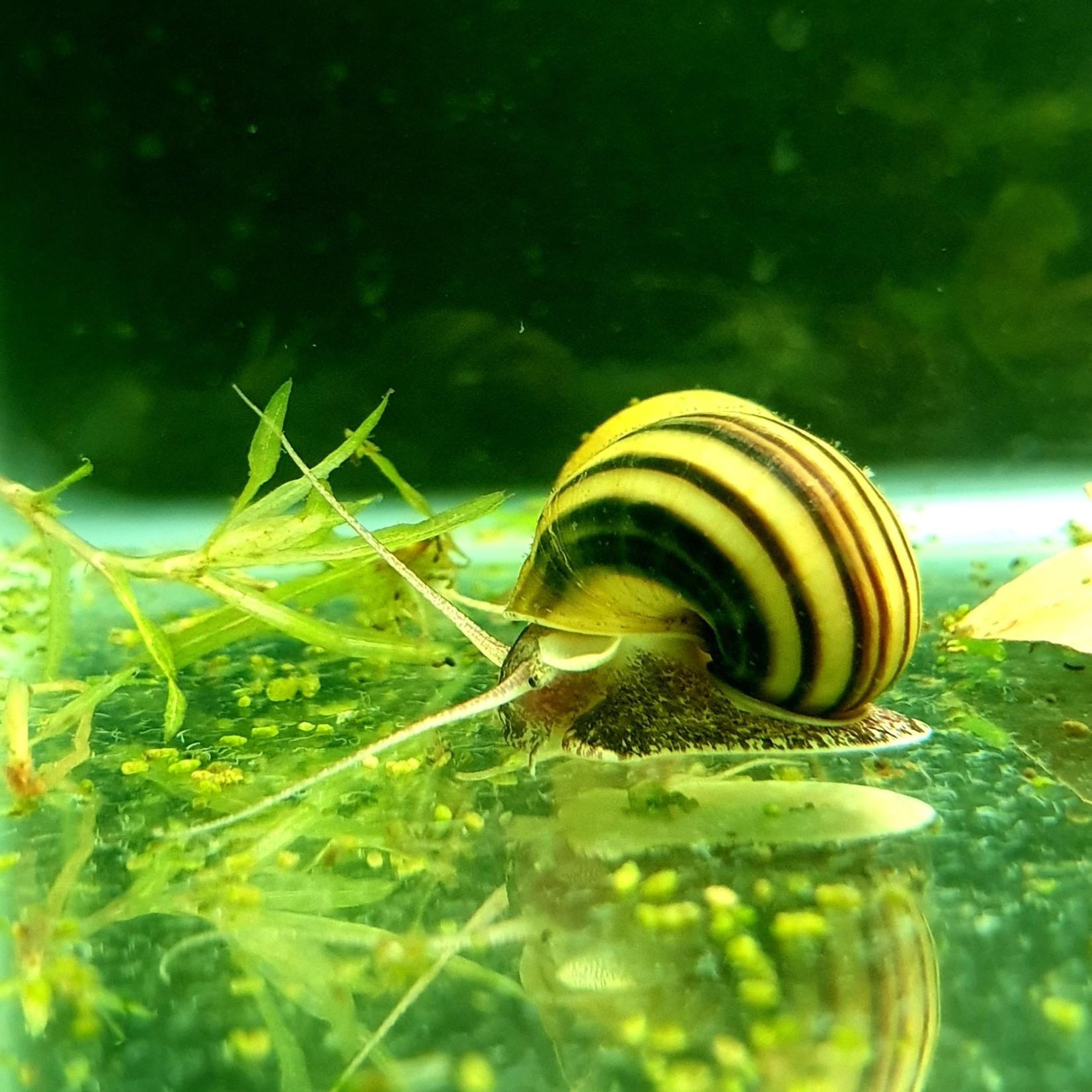 Bubba's Snail Asolene spixi