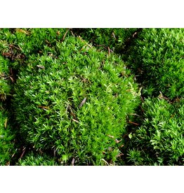 NLS Leucobryum moss