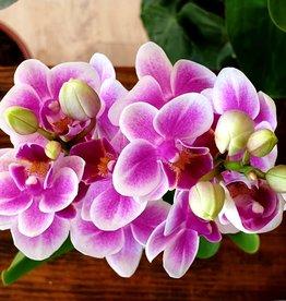 Orchidees Orchidée phalaenopsis mini