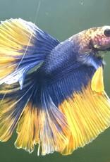 Bubba's Fishs Betta halfmoon blue-Yellow
