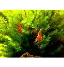 Bubba's Shrimps Red Cherry - Sakura