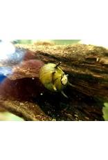 Bubba's Snail Clithon sowerbyana «Bunte»