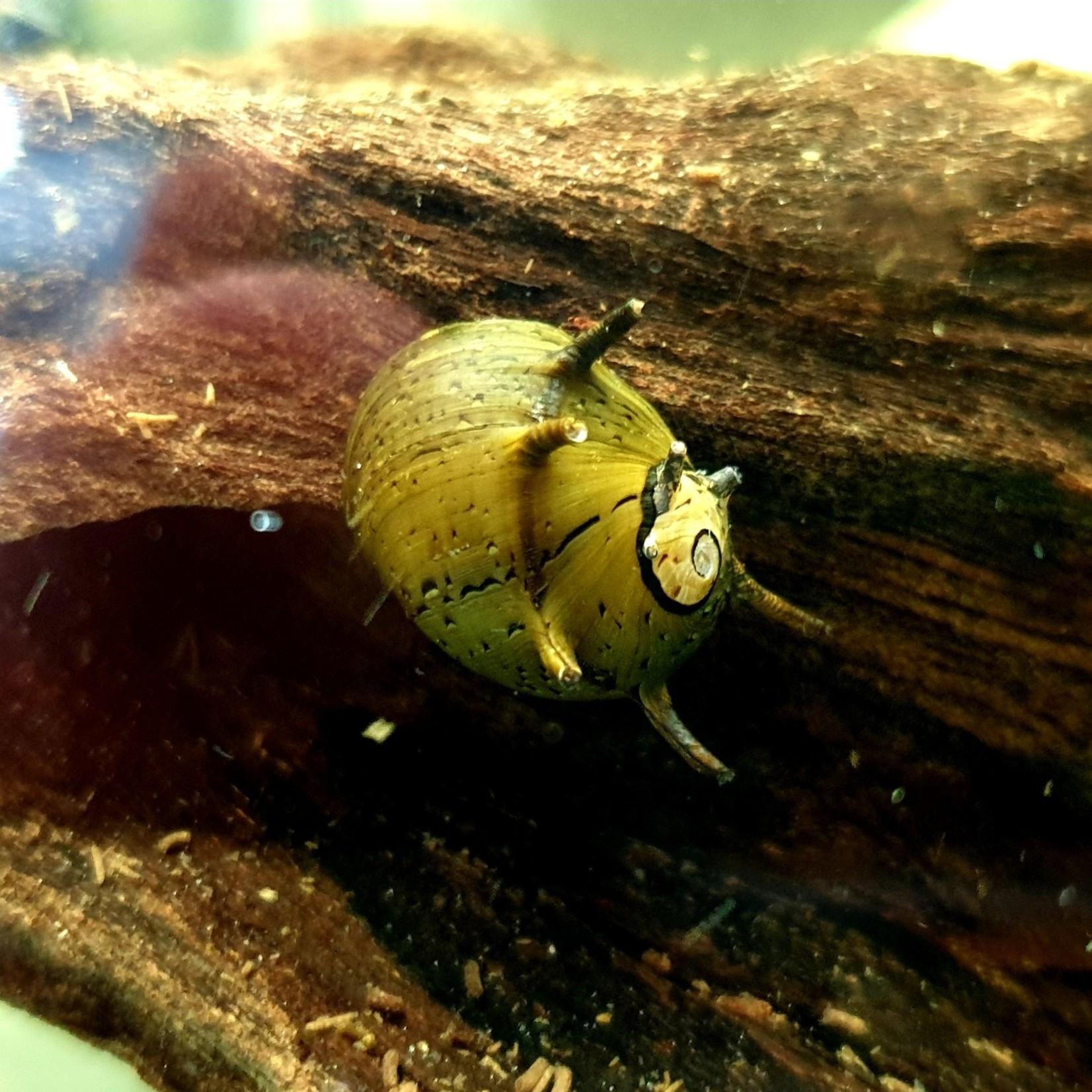 "Bubba's Snail Clithon sowerbyana ""Bunte"""