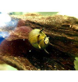 Bubba's Snail Clithon sowerbyana