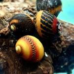 Bubba's Snail Vittina waigiensis Rouge
