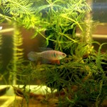 Bubba's Fishs Simpsonichtys carlettoi (pièce)