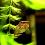 Bubba's Fishs Aphyosemion Gardneri Akure