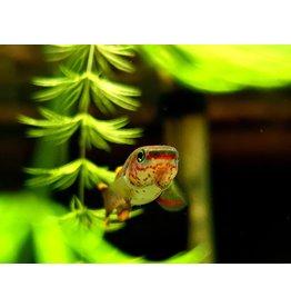 Bubba's Fishs Aphyo. Gardneri Akure