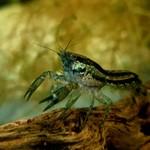 Bubba's Crayfish Écrevisse CPB - Cambarellus patzcuarensis var. Blue