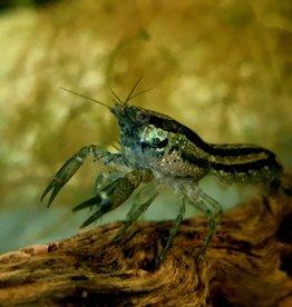 Bubba's Crayfish CPB - Cambarellus patzcuarensis var. Blue