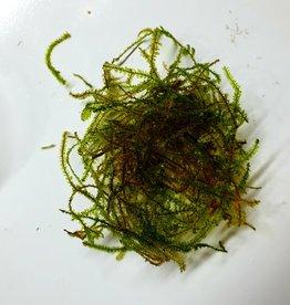 Mousse Brazil moss (Vesicularia sp.) - mini gobelet 50 ml