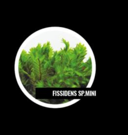Mousse Fissidens sp Mini