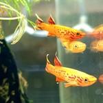 Bubba's Fishs Zuidelijke hjersseni