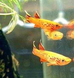 Bubba's Fishs Aphyo. Australe hjersseni