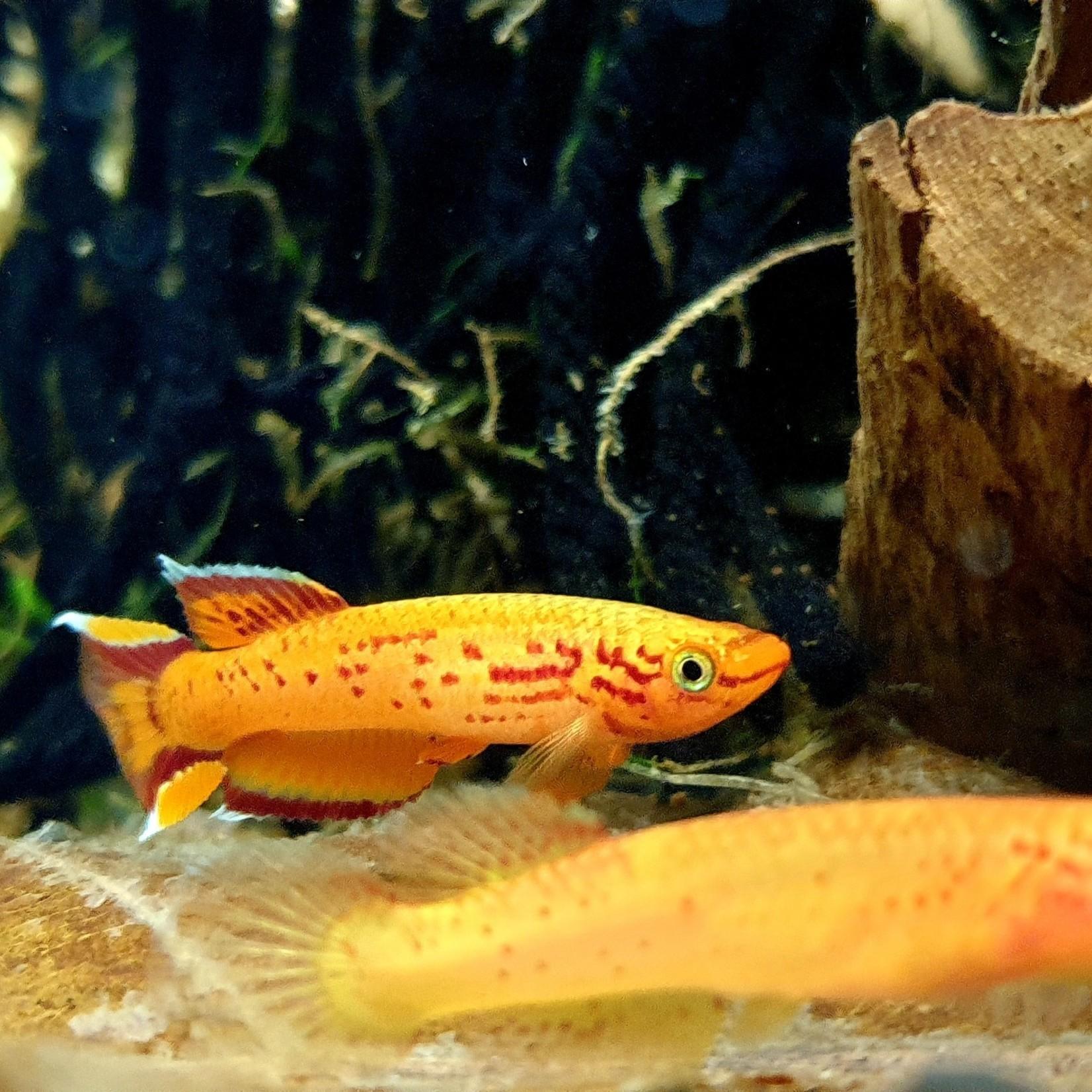 Bubba's Fishs Aphyosemion Australe hjersseni (gedeeltelijk)