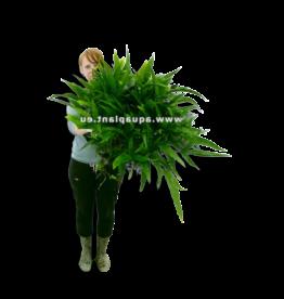 Bubba's Plants Microsorum pteropus XXXL
