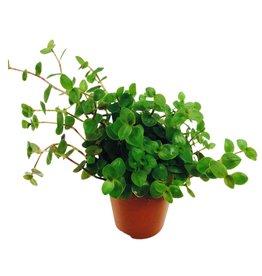 Bubba's Plants Yamiplant - Callisia repens