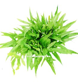 Bubba's Plants Microsorum pteropus Moedervoet XXL