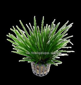 Bubba's Plants Acorus gramineus pussilus