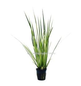 Bubba's Plants Acorus gramineus variegatus