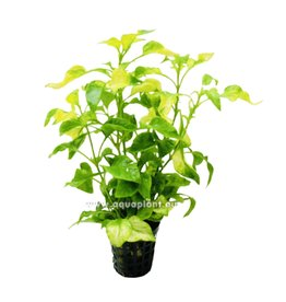 Bubba's Plants Alternanthera bettzickiana aurea