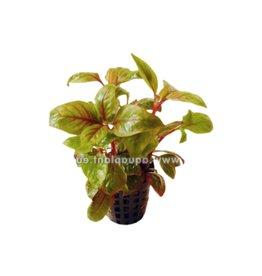 Bubba's Plants Alternanthera bettzickiana red