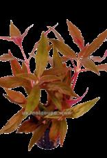 Bubba's Plants Alternanthera cardinalis