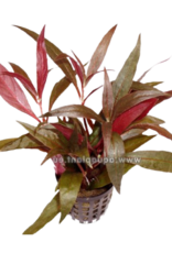 Bubba's Plants Alternanthera rosaefolia