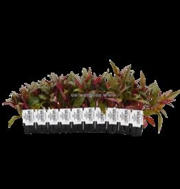 Bubba's Plants Alternanthera rosaefolia (Strip)