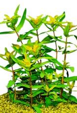Bubba's Plants Ammania gracilis vert