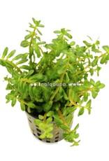 Bubba's Plants Ammania sp. bonsai