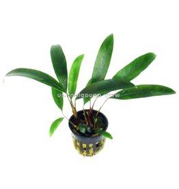 Bubba's Plants Anubias afzellii