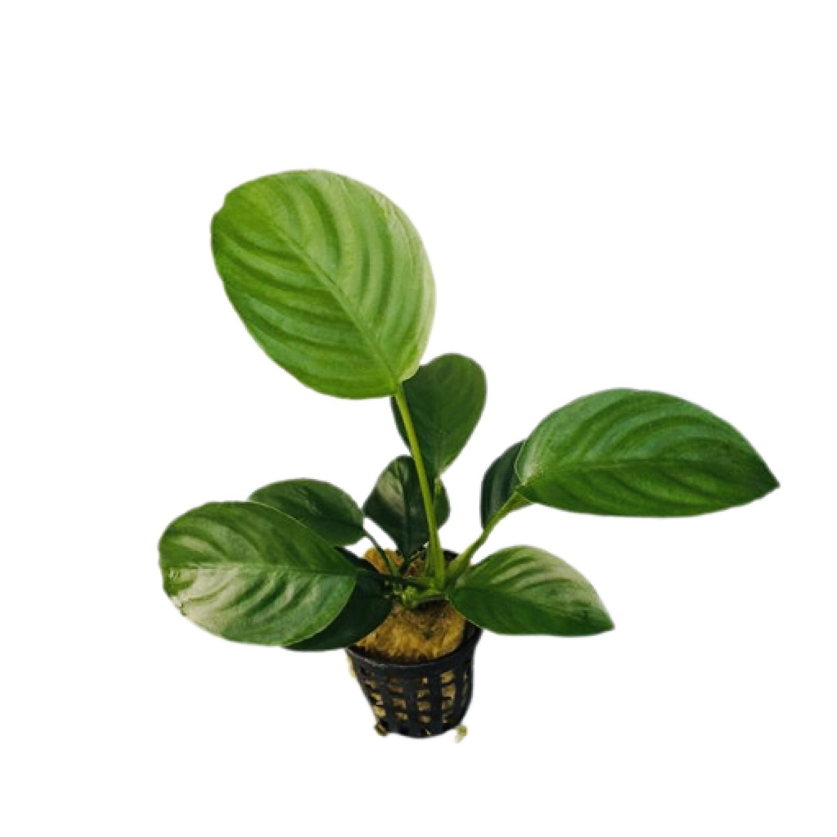 Bubba's Plants Anubias Barteri