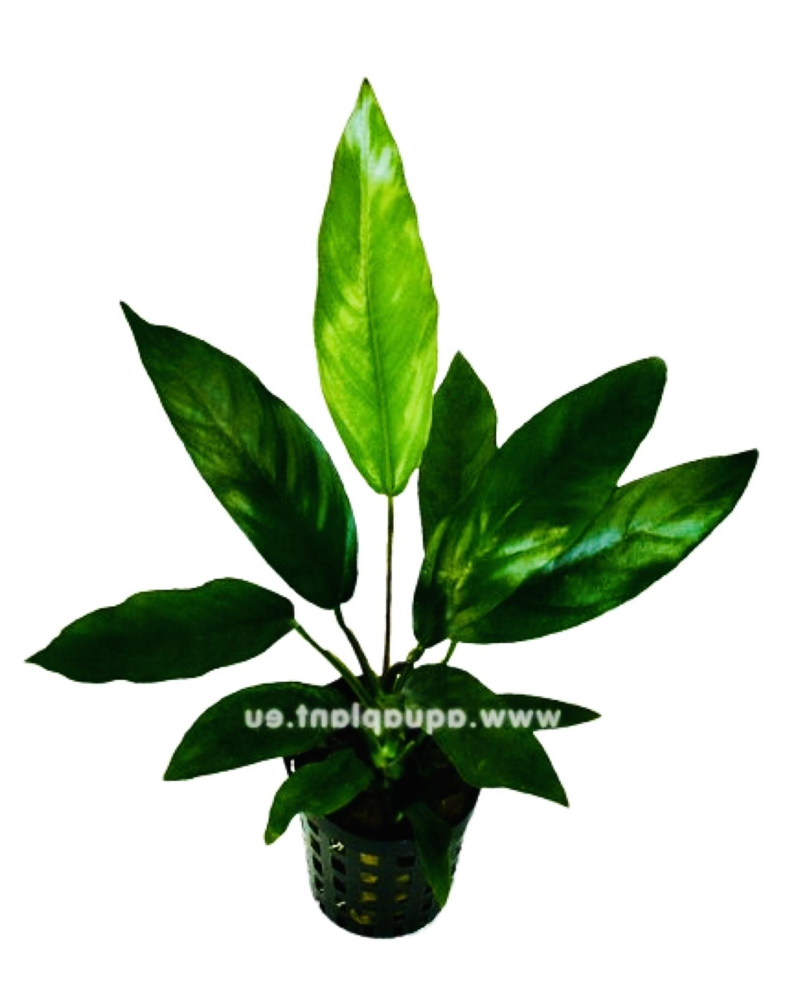 Bubba's Plants Anubias barteri glabra