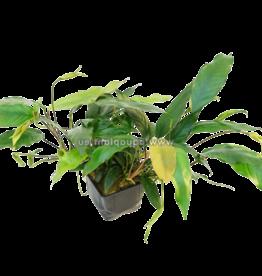 Bubba's Plants Anubias barteri glabra Pied mère