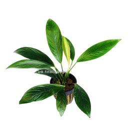 Bubba's Plants Anubias gilletii