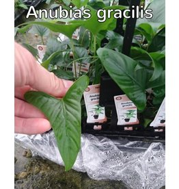 Bubba's Plants Anubias gracilis