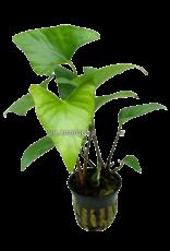 Bubba's Plants Anubias gracilis