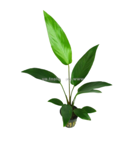 Bubba's Plants Anubias hastifolia