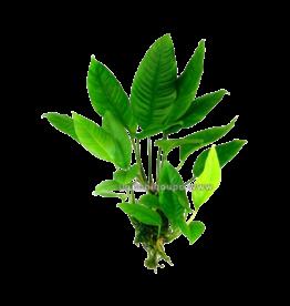 Bubba's Plants Anubias heterophylla big (plus grosse)