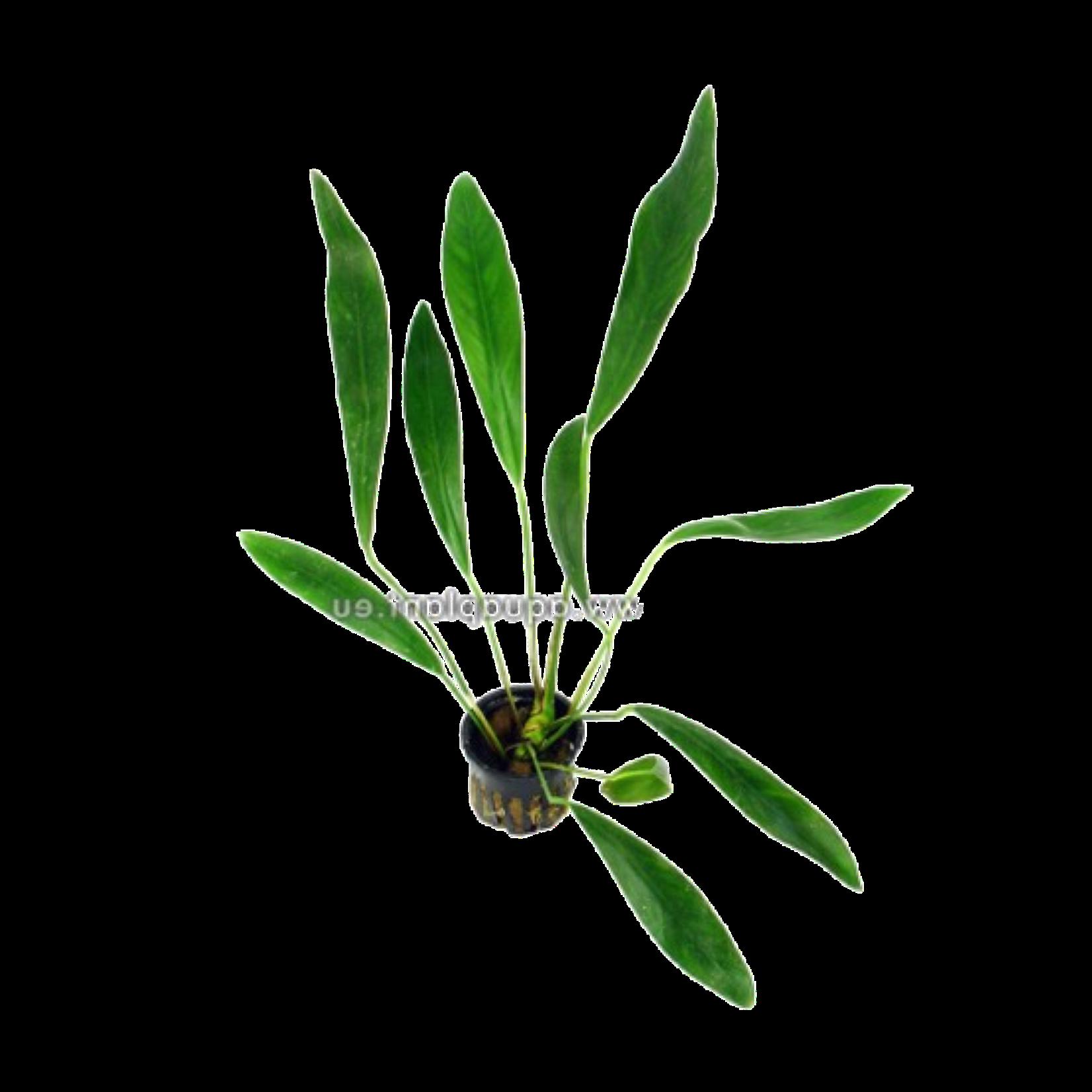 Bubba's Plants Anubias lanceolata