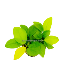 Bubba's Plants Anubias nana Gold