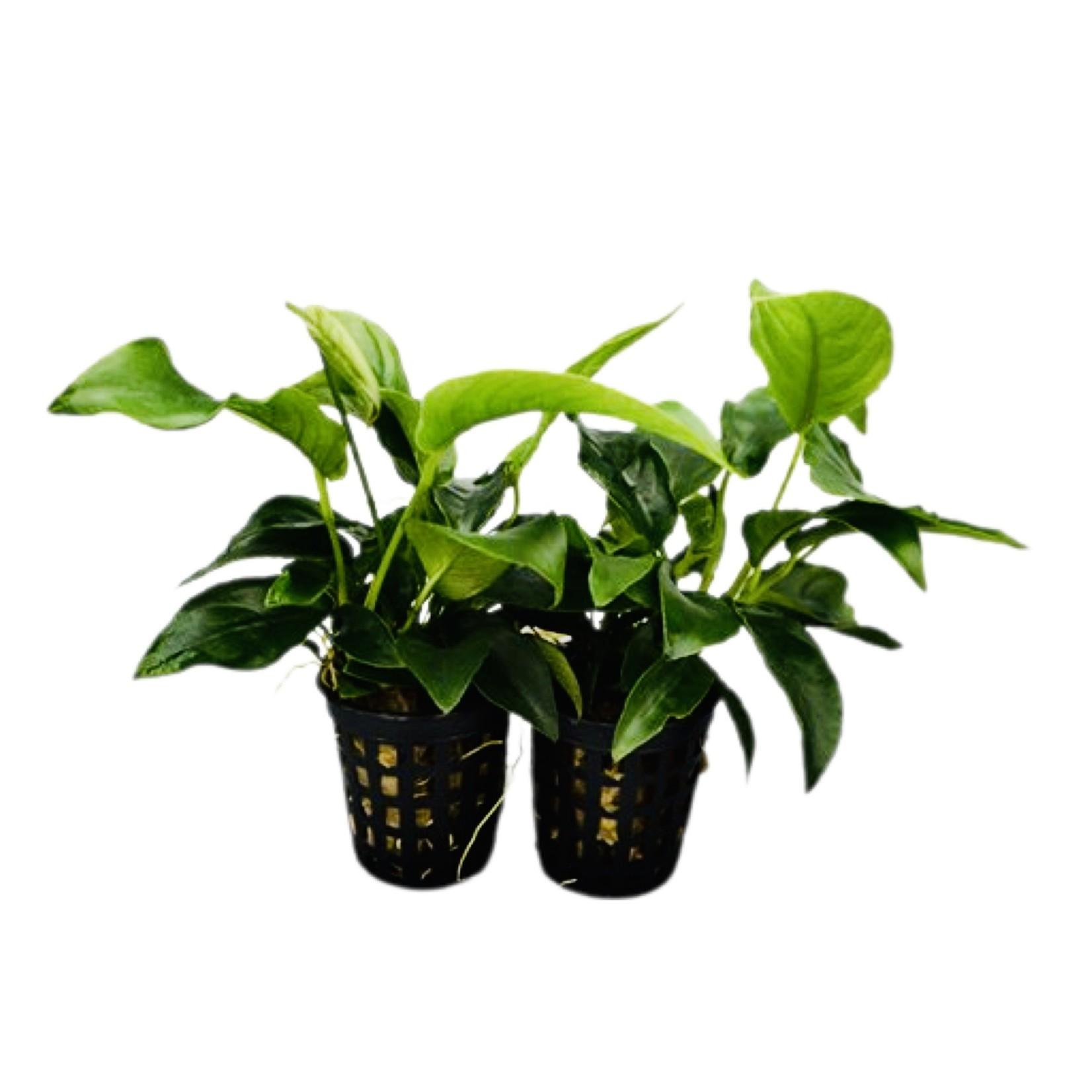 Bubba's Plants Anubias nana mini