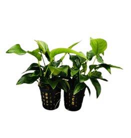 Bubba's Plants Nana mini