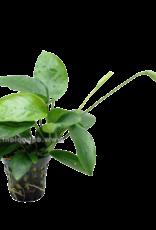 Bubba's Plants Anubias ondulatus