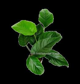 Bubba's Plants Anubias saggitte