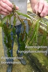 Bubba's Plants Aponogeton boivinianus