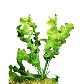 Bubba's Plants Aponogeton ulvaceus