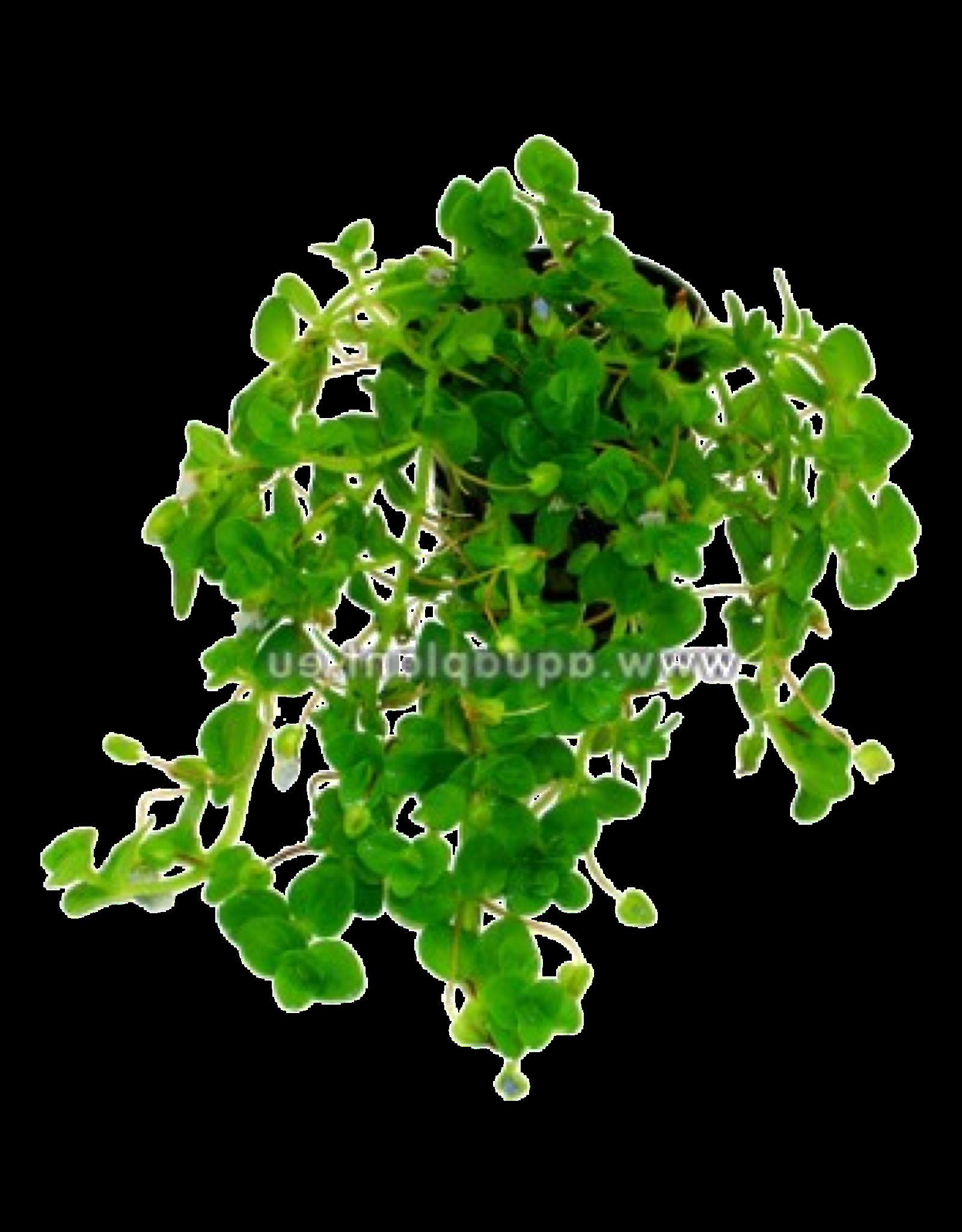 Bubba's Plants Bacopa australis