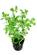 Bubba's Plants Bacopa crenata - monieri